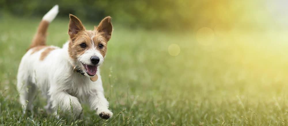 small dog running in a grassy field